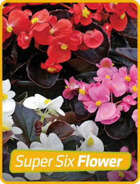 Begonia Bronze Leaf Mix