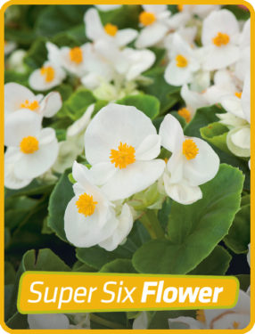 Begonia Green Leaf White