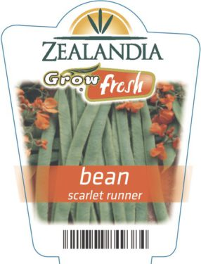 Bean Scarlet Runner