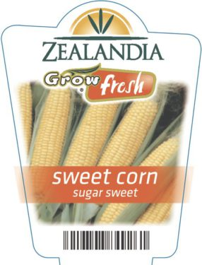 Sweet Corn Sugar Sweet