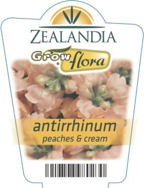 Antirrhinum Peaches & Cream