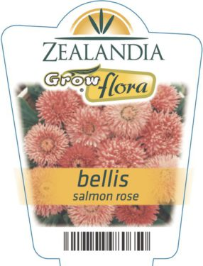 Bellis Salmon Rose