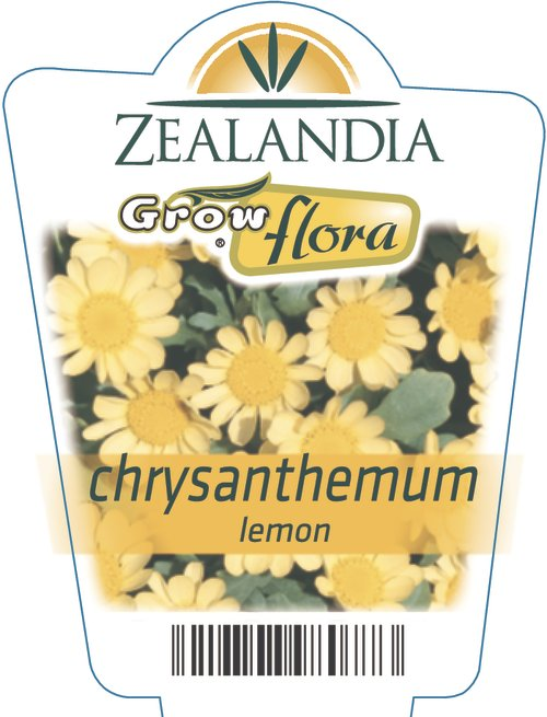 Chrysanthemum Lemon