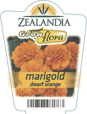 Marigold Dwarf Orange