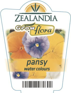 Pansy Water Colours