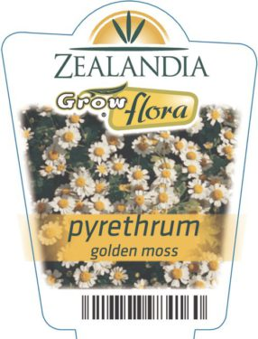 Pyrethrum Golden Moss