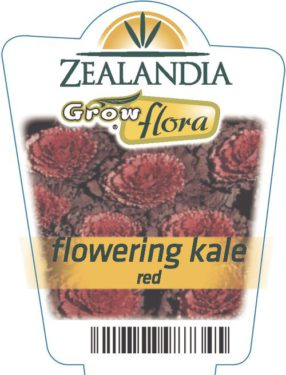 Flowering Kale Red