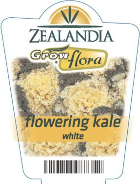Flowering Kale White