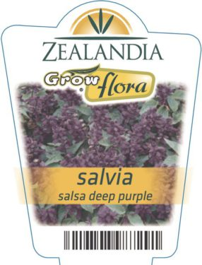 Salvia Salsa Deep Purple