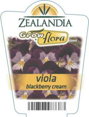 Viola Blackberry Cream