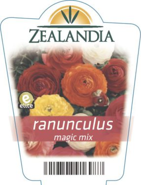 Ranunculus Magic Mix