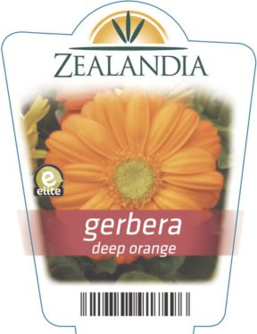 gerbera deep orange