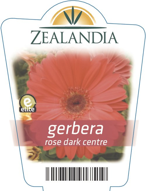 gerbera rose dark centre