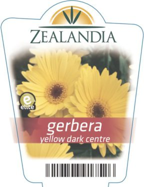 gerbera yellow dark centre