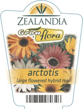 Arctotis Large Flowered Hybrid Mix