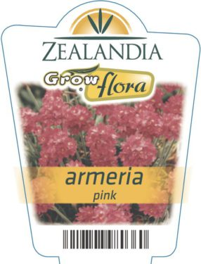 Armeria Pink