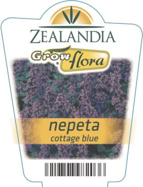 Nepeta Cottage Blue