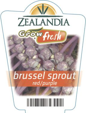 Brussel Sprout Red/purple