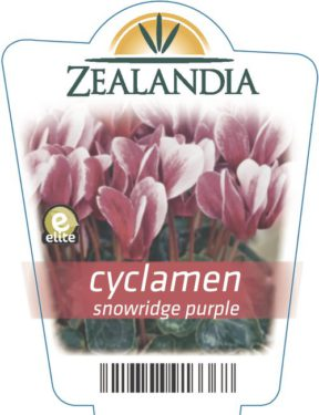 Cyclamen Snowridge Purple
