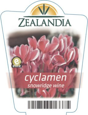 Cyclamen Snowridge Wine