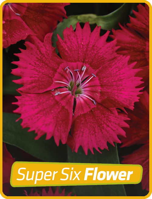 Dianthus Red