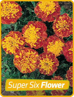 Marigold Dwarf Red Yellow