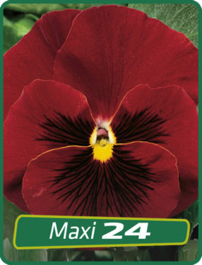 Pansy Red