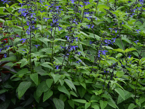 Black & Bloom Salvia Color Code: BFP Landscape, Vegetative 08.15 West Chicago, Mark Widhalm BlackandBloom_02.JPG SAL15-20190.JPG
