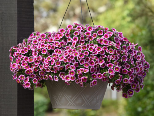 Can-Can Bumble Bee Pink Calibrachoa  Color Code:  BFP, 2018 Basket in Setting, Vegetative 04.04.17 Santa Paula, Mark Widhalm CAL17-22734.JPG