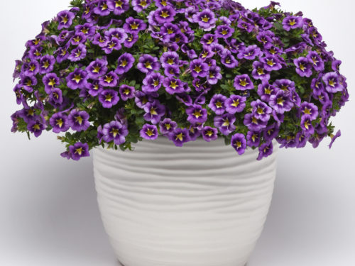 Can-Can Bumble Bee Blue Calibrachoa Color Code: BFP Pot On Sweep, Vegetative 03.19 Santa Paula, Mark Widhalm Can-CanBumbleBeeBlue.JPG CAL19-25219.JPG  Additional