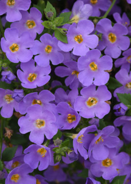 Versa Blue Bacopa (Sutera)