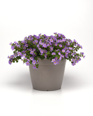 Versa Blue Bacopa Color Code: BFP Pot On Sweep, Vegetative 03.19 Santa Paula, Mark Widhalm VersaBlue.JPG BAC19-25233.JPG  Additional