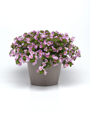 Versa Pink Shine Bacopa